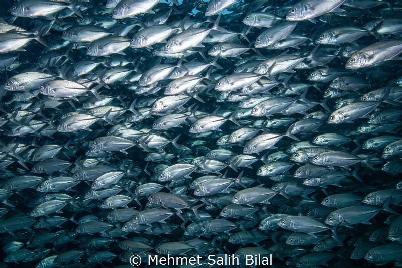 Jackfish shoal in Sipadan. by Mehmet Salih Bilal