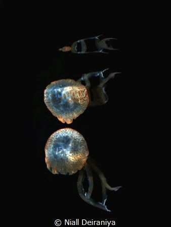 Reflection of a jelly fish against the surface used high ... by Niall Deiraniya