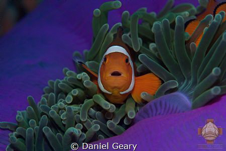 The beautiful exposed purple underside of the anemone cre... by Daniel Geary