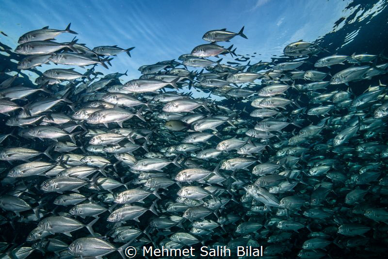 Jackfish shoal under surface. by Mehmet Salih Bilal