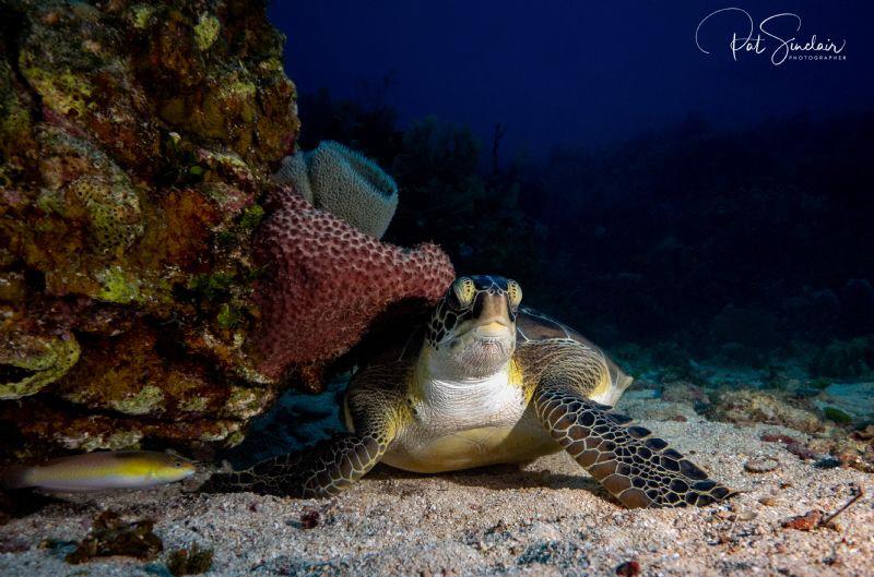 Green Sea Turtle by Patricia Sinclair