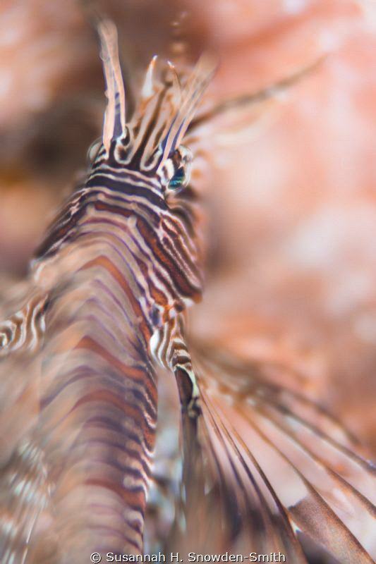 """""""Abstract Lion""""  A juvenile lionfish that was hiding ag... by Susannah H. Snowden-Smith"""