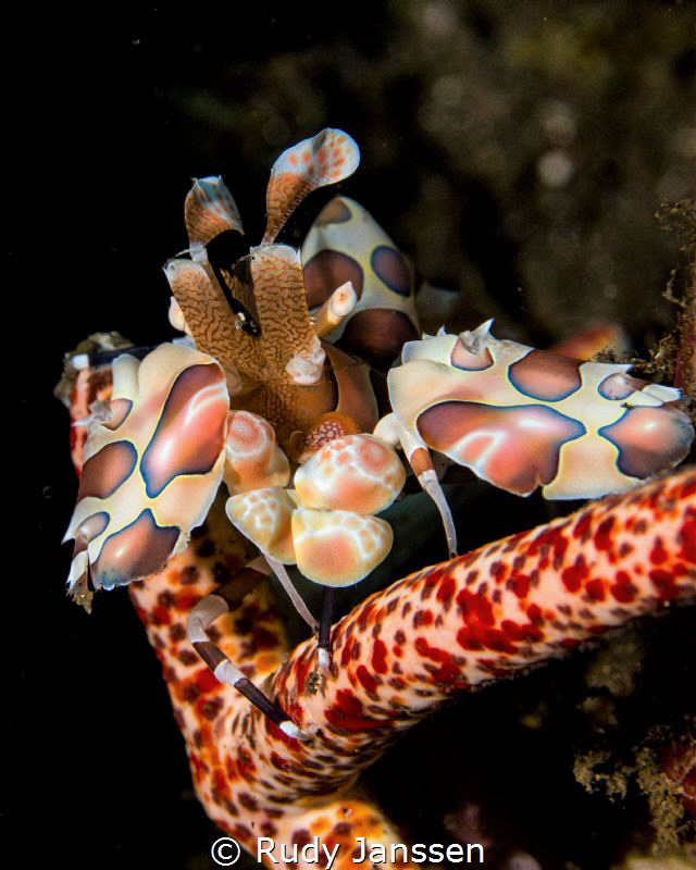 harlequin shrimp by Rudy Janssen