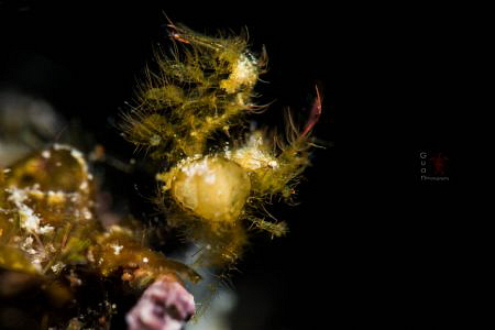 Hairy Shrimp with parasite by Guan Teoh
