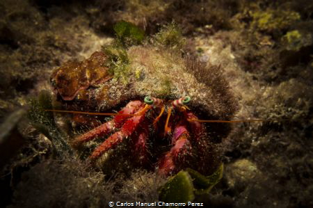 Hermit crab with hypnotic eyes. RX100M3 f8, 1/400, ISO 80... by Carlos Manuel Chamorro Perez
