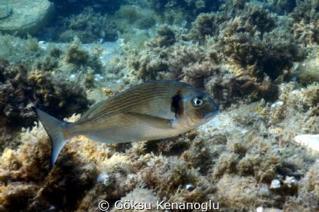 Gilt head sea-breams are the true kings of the Mediterran... by Göksu Kenanoğlu