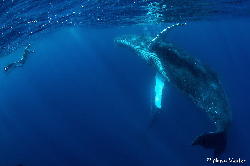 Amazing encounter with Humpback Whale in Tonga by Norm Vexler