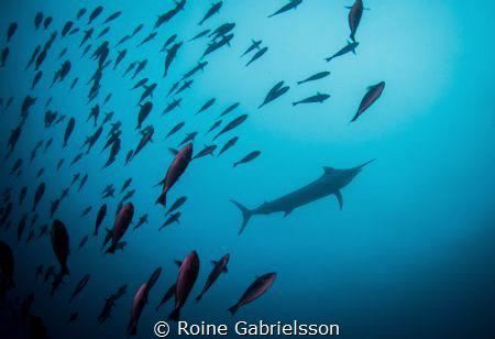 Blue Marlin at Misool, Raja Ampat. by Roine Gabrielsson