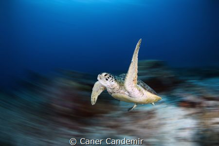 Sea Turtle by Caner Candemir
