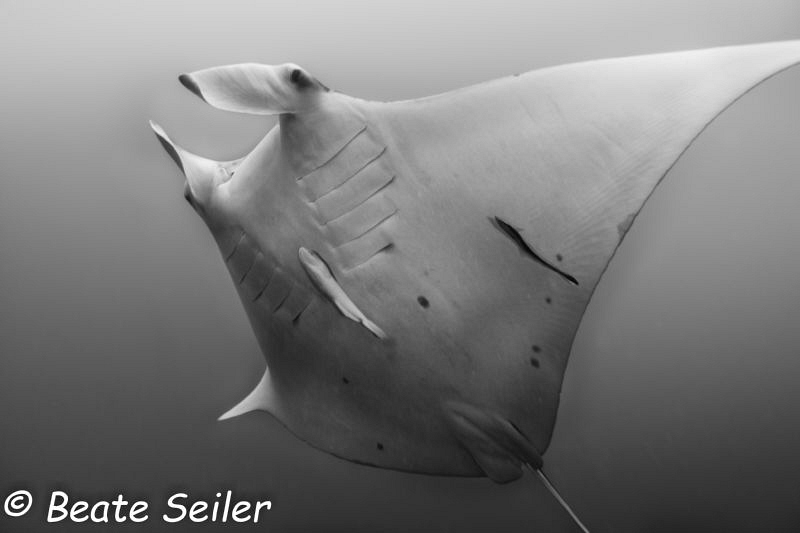 Manta ray by Beate Seiler
