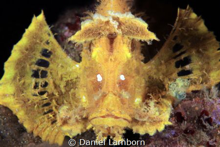The Weedy Scorpionfish, of the Rhinopias - one of the tru... by Daniel Lamborn