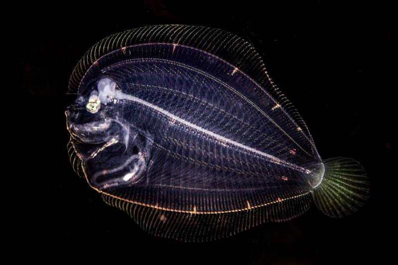 Skeleton Flounder by Doris Vierkötter