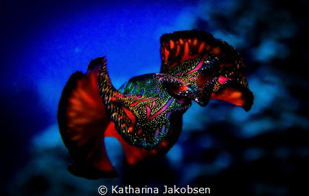 This stunning Persian Carpet Flatworm decided to go for a... by Katharina Jakobsen