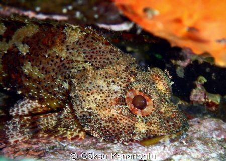 A scorpion fish chilling inside a rock with its eyes wide... by Göksu Kenanoğlu