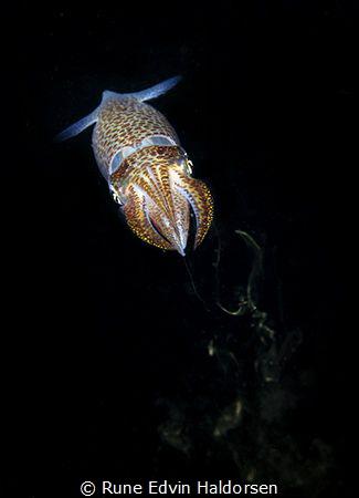 Common european squid by Rune Edvin Haldorsen