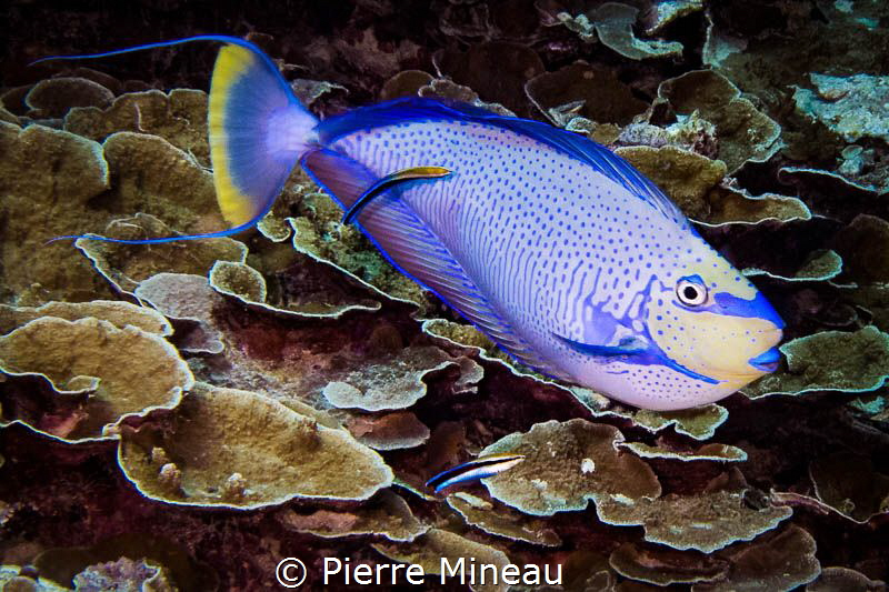 Vlaming's unicorn fish at cleaning station by Pierre Mineau