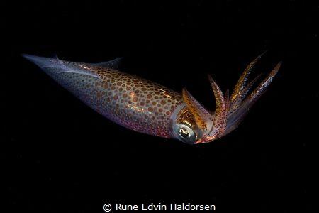 Squid by Rune Edvin Haldorsen