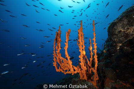 Sponge axinella and fishes Bodrum / Turkey 2018 by Mehmet Öztabak