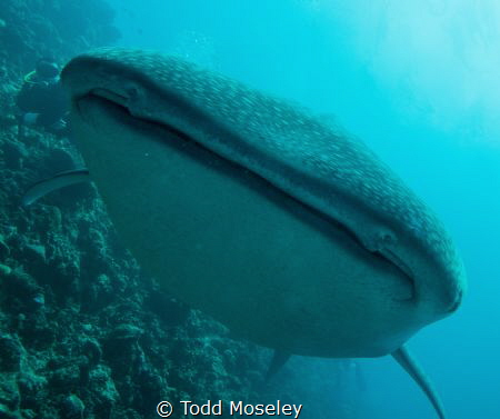 Whale shark. by Todd Moseley