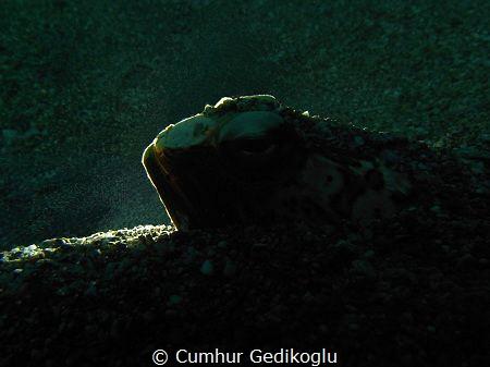Trachinus radiatus Back lighted by Cumhur Gedikoglu