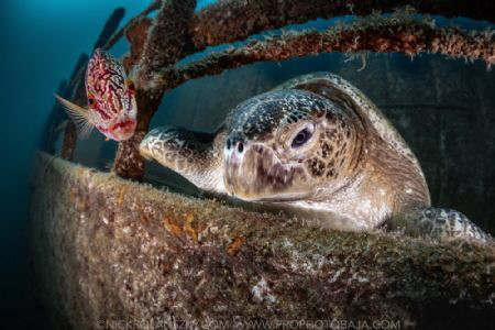 While taking some photos of this Giant Sea Turtle lazing ... by Nick Polanszky