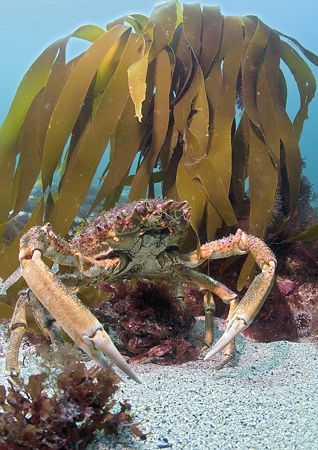 Spiny spider crabs - male standing guard over much smalle... by Mark Thomas