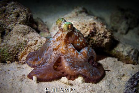 Finally I encounter an octopus on a beautiful night dive ... by Jill Smith