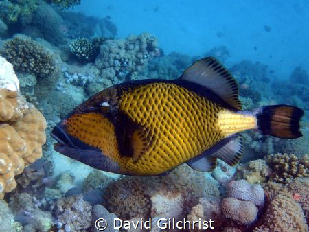 A Giant Triggerfish in the waters of the Red Sea off Egypt by David Gilchrist