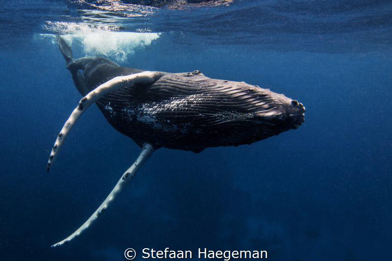 Humpback whale @ Silverbank by Stefaan Haegeman