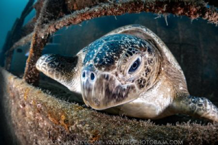 Turtle Stare Off on the Fang Ming Wreck by Nick Polanszky