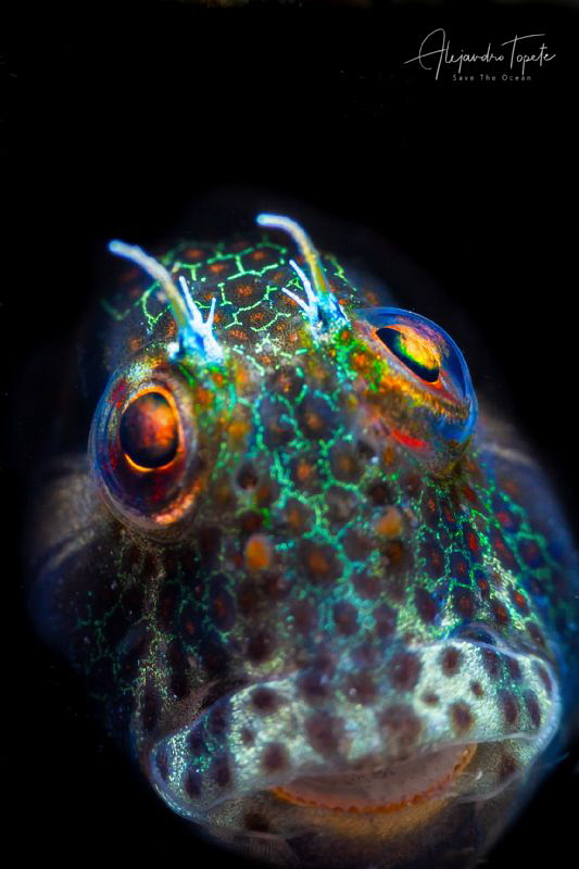 Blenny with eye in the Sky, La Paz Mexico by Alejandro Topete