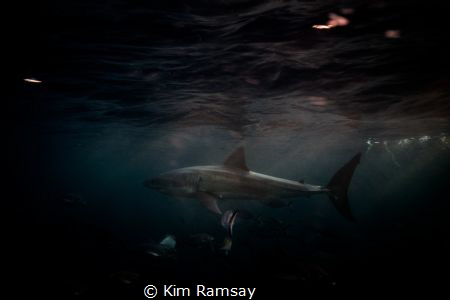 Great white shark darts past during a Neptune island suns... by Kim Ramsay