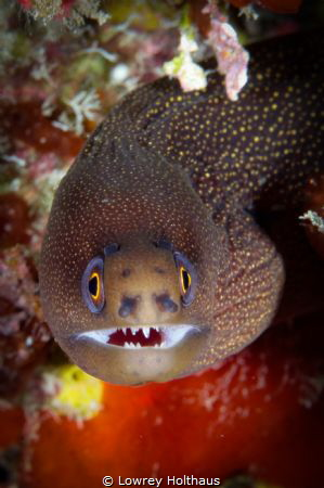 Goldentail Moray smiles for the camera by Lowrey Holthaus