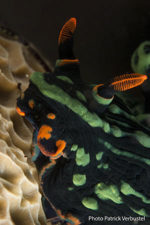 Seaslug Nembrotha by Patrick Verbustel