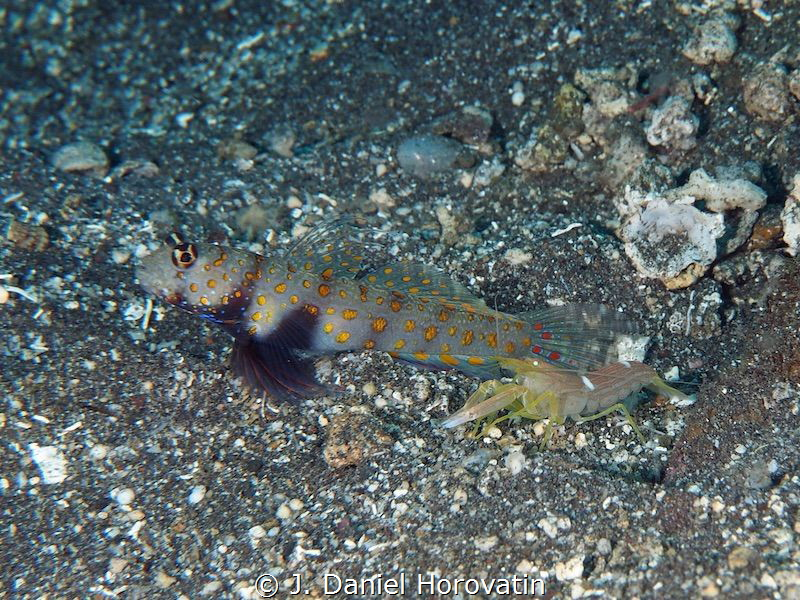 Shrimp goby on look-out as his den mate works to clear sa... by J. Daniel Horovatin