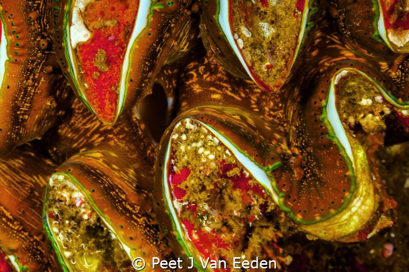 The colorful mantle of a giant sea clam by Peet J Van Eeden