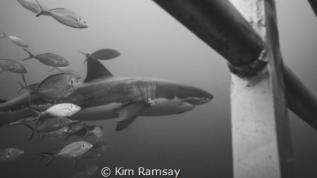 Imax - legendary great white shark of the Neptune Islands by Kim Ramsay