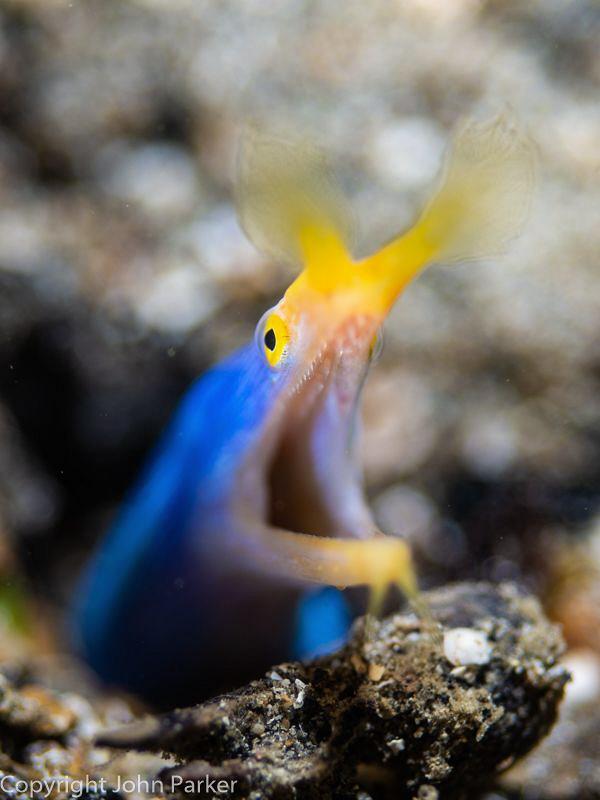 Blue Ribbon Eel by John Parker