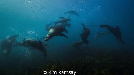 Play. Australian fur seals play near Martin Island, Port... by Kim Ramsay