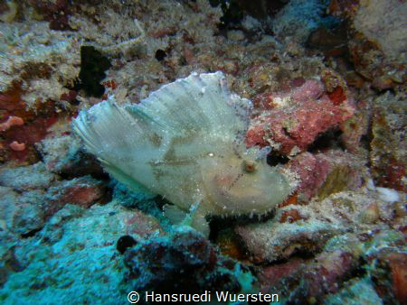 White Frogfish or Scorpionfish ? by Hansruedi Wuersten