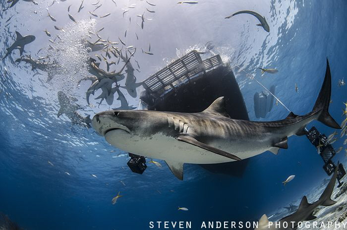 Its a real shark rodeo at Tiger Beach - Bahamas