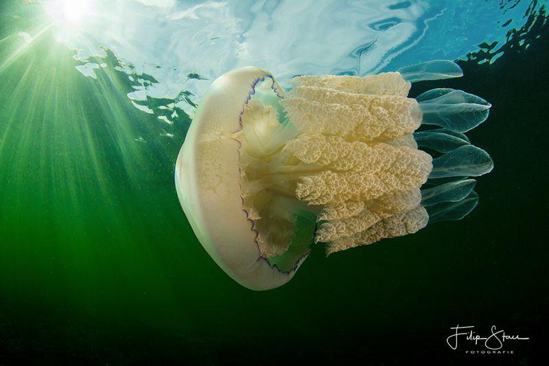 Barrel jellyfish (Rhizostoma pulmo), Zeeland, The Netherl... by Filip Staes