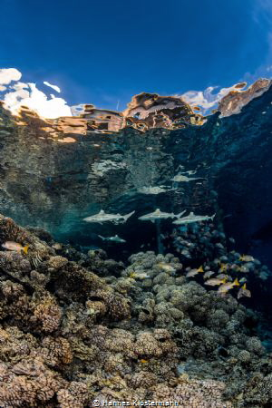 Blacktip reef sharks patrolling the shallow areas of a re... by Hannes Klostermann