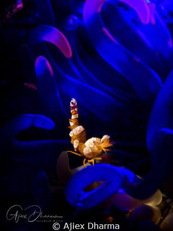 Sexy shrimp on coloured background by Ajiex Dharma