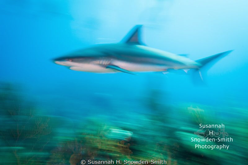 """Faaaast!"" - A Caribbean reef shark speeds across a coral... by Susannah H. Snowden-Smith"