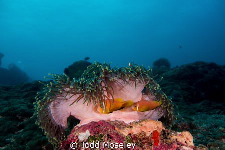 Anemone by Todd Moseley