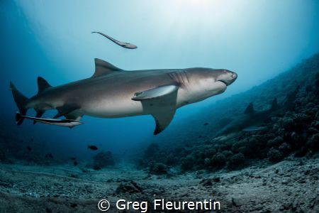 Lemon sharks from Moorea by Greg Fleurentin