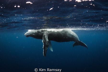 Humpback calf. by Kim Ramsay