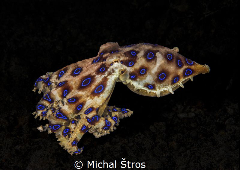Blue-Ringed Octopus by Michal Štros