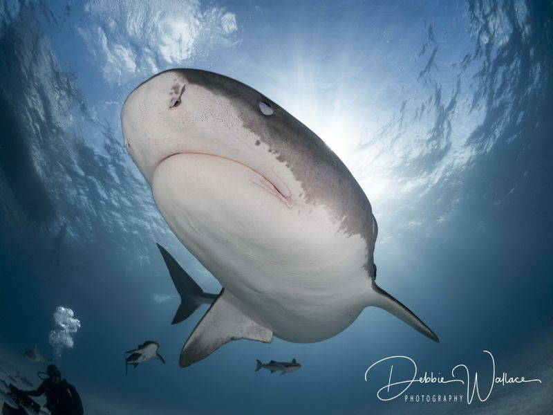 This large female tiger shark was approaching me and star... by Debbie Wallace